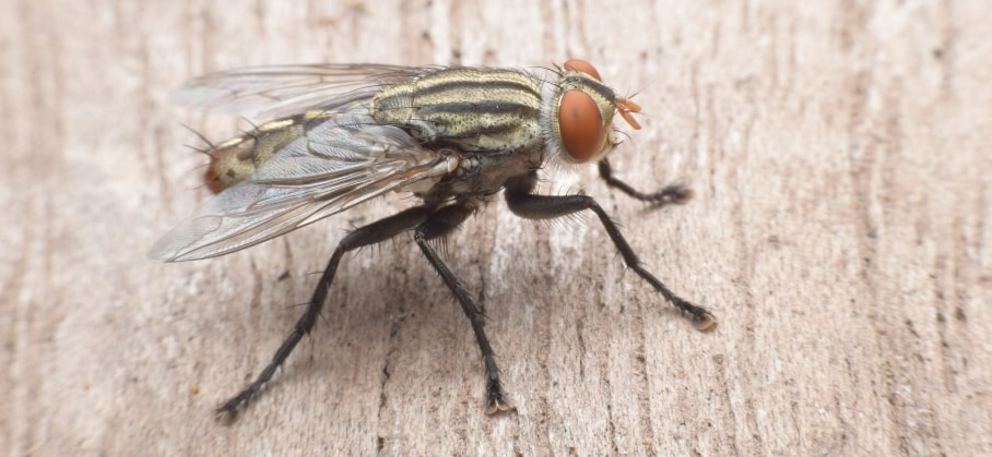 An upclose shot of a cluster fly landed on wood.