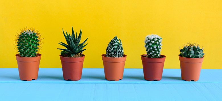 Why your cactus is developing a yellowish colour?