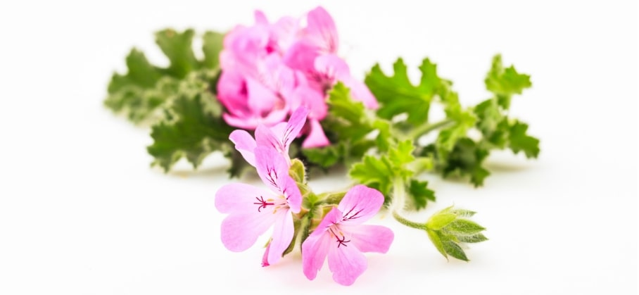 Keep msquitoes away with citronella plant.