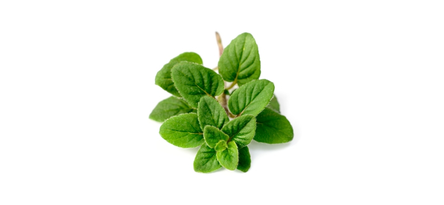 Oregano plant.