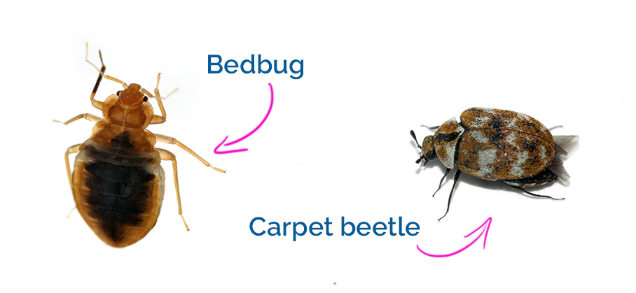 Carpet beetles compared to bed bugs