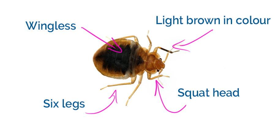 Characteristics of a bedbug