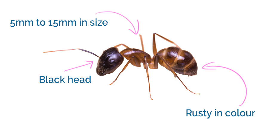How banded sugar ants look like!