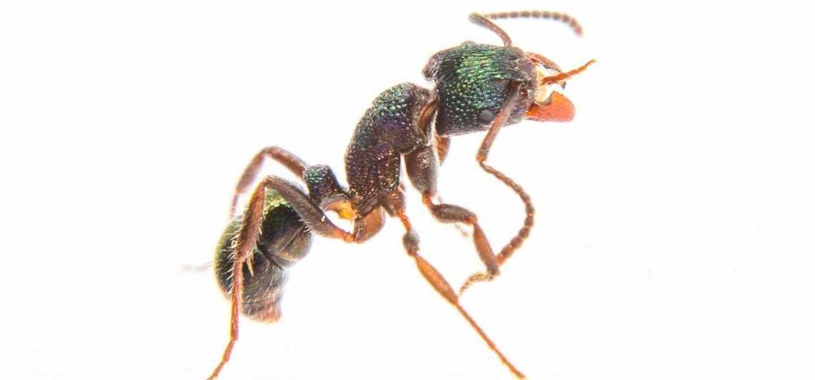 What green headed ants look like.