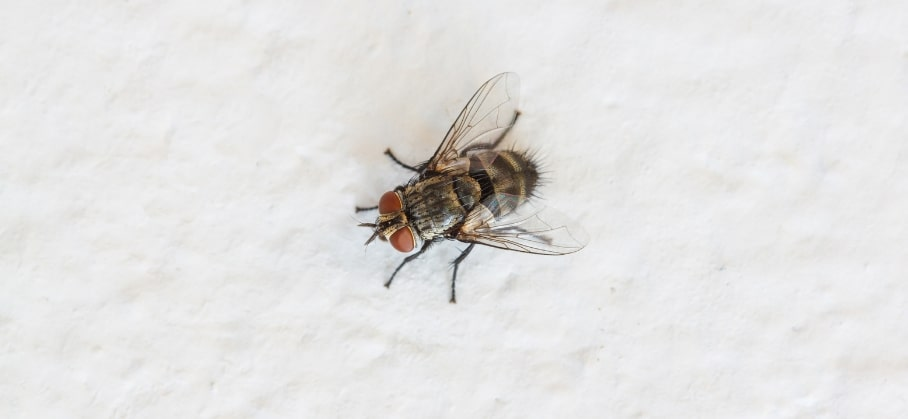 A cluster fly isolated on a white background.