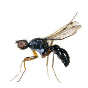 A gnat