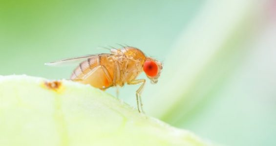 How to kill fruit flies at home.