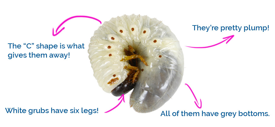 How to identify a white curled grub