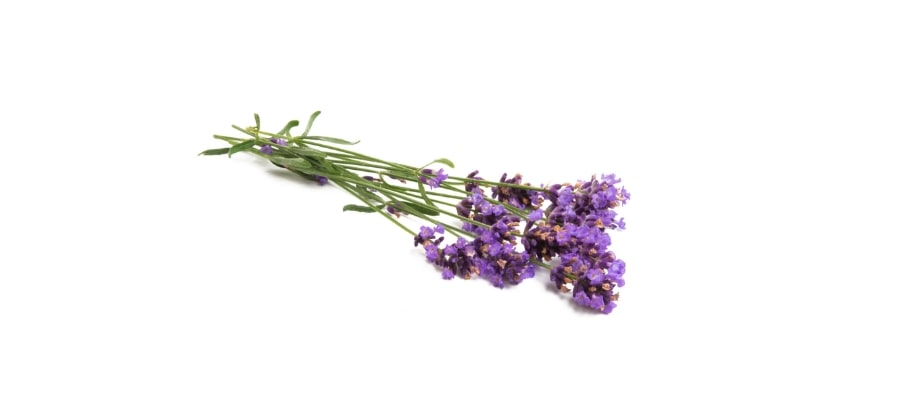 Lavender to deter mosquitoes