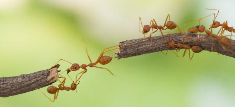 Ants in Australia
