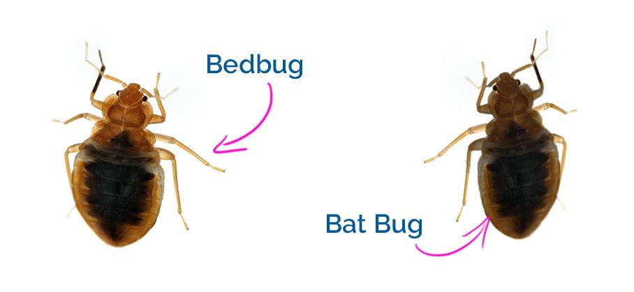 Bed bugs look a lot like bat bugs