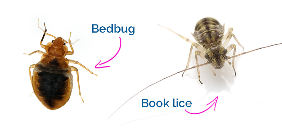 Book Lice compared to Bed Bugs