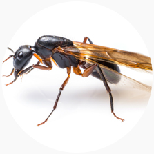 The Ant Species Of Australia Pest Issues By Fantastic Services