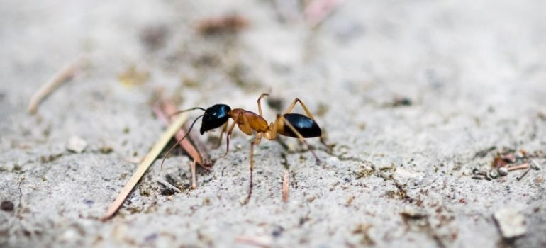 How to deal with banded sugar ants
