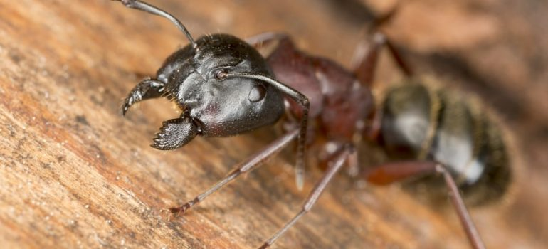 A guide on how to prevent and exterminate a carpenter ants infestation in your home.