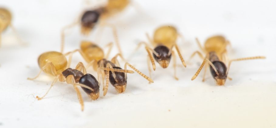 An upclose shot of ghost ants