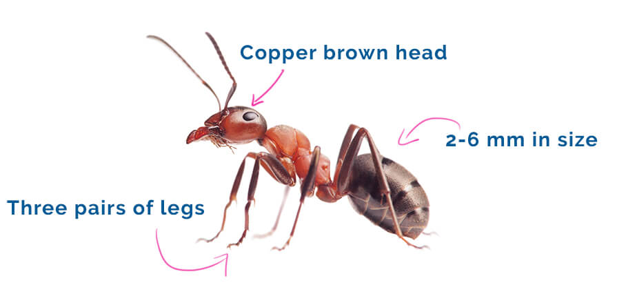How To Deal With Fire Ants Pest Issues By Fantastic Services