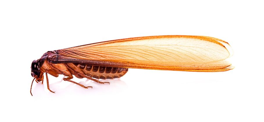 A close up shot of a flying termite