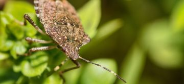A stink bug photographed up-close on a leaf
