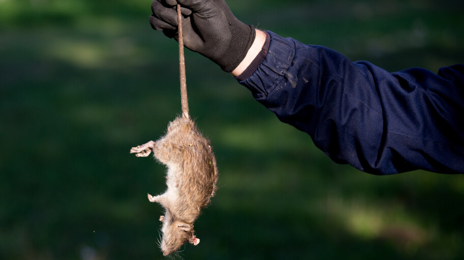 Ways to get rid of dead rat smell