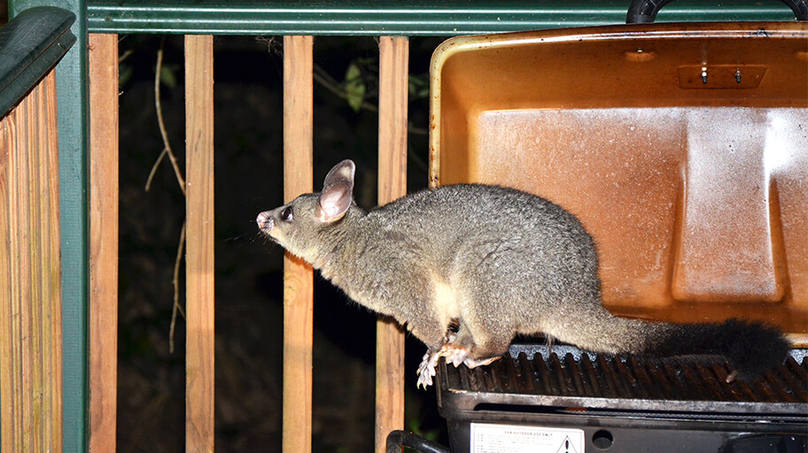How to Get Rid of Possums? Make Them Leave in a Natural Way