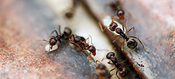 Black House Ants - How to Get Rid of Them - Featured Image