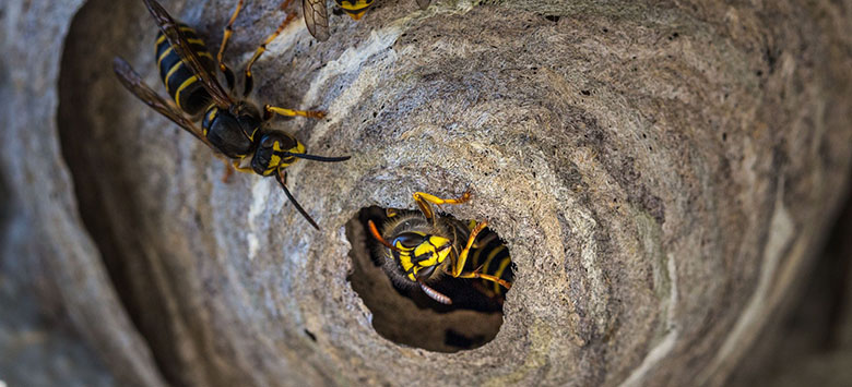 The Fantastic Guide to Wasp Nests