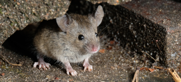 How to get rid of rats/mice