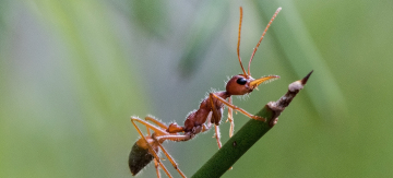 How to get rid of bull ants