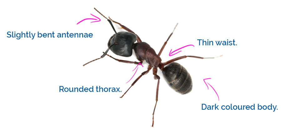 Characteristics of the carpenter ant.