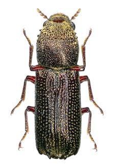 Heterobostrychus aequalis