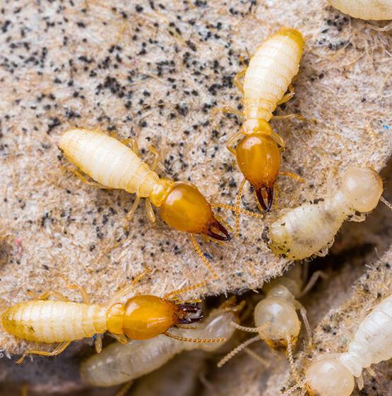 Termites infestation